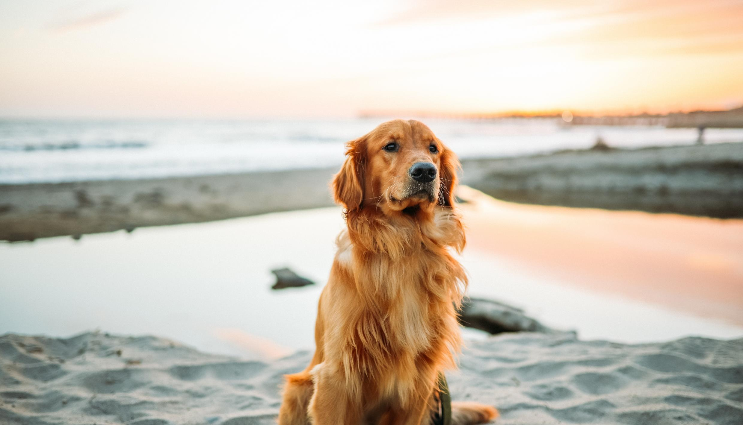 A golden retriever dog sitting on the beach.