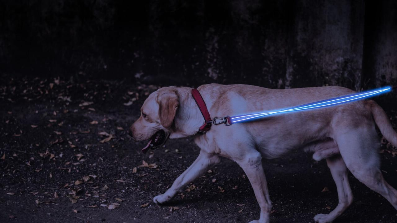Leash Blue Golden